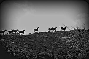 Goats on a ridge