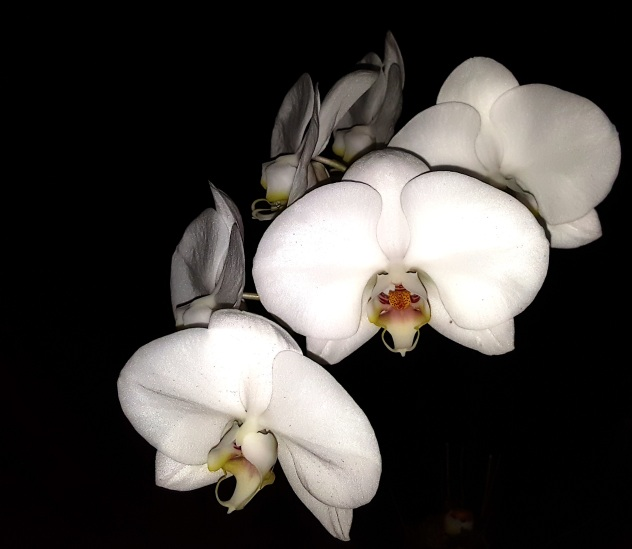 Orchids resting at night