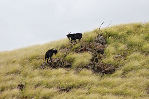 Feral goats on rocks.jpg