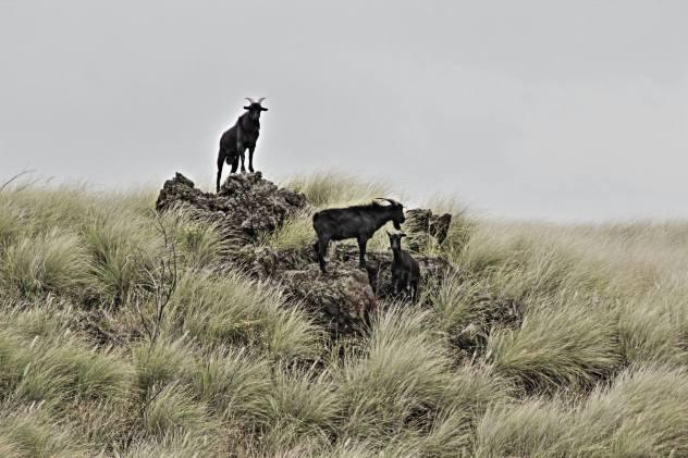 Feral goats.jpg