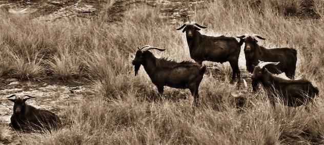 Sepia Goats.jpg