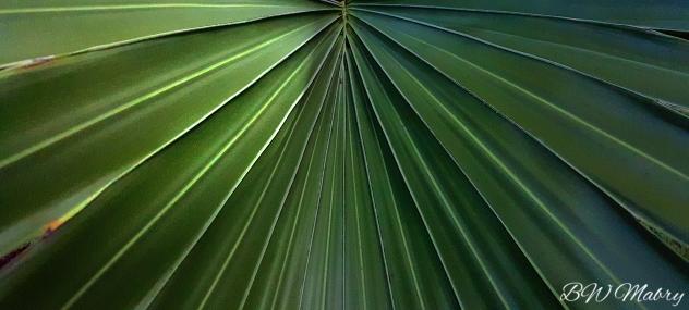 Bismark palm.jpg
